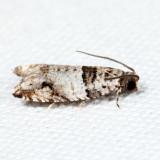 3277 – Rhopobota dietziana *