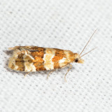 3780 – Rings' Cochylid Moth – Cochylis ringsi *