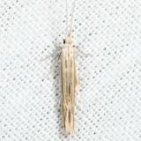 1365 – Streaked Coleophora - Coleophora cratipennella *