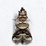 5651 - Leaf Crumpler Moth - Acrobasis indigenella *