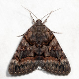 8773 – Epione Underwing – Catocala epione