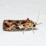 2826 - Lacuna Moth - Olethreutes lacunana *