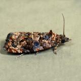 2738 – Verbena Bud Moth – Endothenia hebesana *