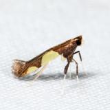 0595 - Caloptilia bimaculatella sp. 2 *