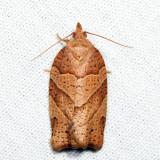 3593 – Woodgrain Leafroller – Pandemis lamprosana *