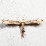 6168 – Eupatorium Plume Moth – Oidaematophorus eupatorii *