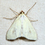 4986.1 - Carrot Seed Moth - Sitochroa palealis