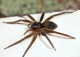 Sixspotted Fishing Spider - Dolomedes triton