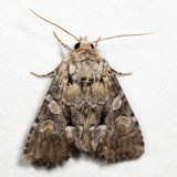 9398 – Eremobina leucoscelis *