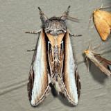 7922 - Black-rimmed Prominent - Pheosia rimosa