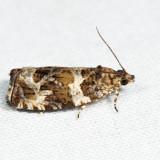 2812 – Olethreutes valdanum *