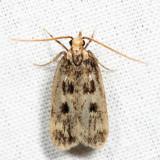 1065 – Martyringa latipennis *