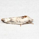 1014 - Pale Gray Bird-dropping Moth - Antaeotricha leucillana *