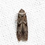 1162 - Acorn Moth - Blastobasis glandulella *