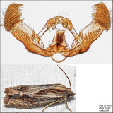 2916 - Beautiful Eucosma - Eucosma formosana