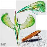 Caloptilia sp. IMG_3147.jpg