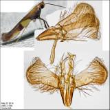 0643 - Caloptilia vacciniella *