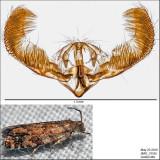 3338 - European Spruce Needleminer Moth - Epinotia nanana