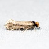 0392 – Tinea apicimaculella *