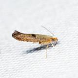 Argyresthia sp. *