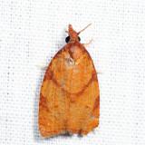 3722 - Chokecherry Leafroller - Cenopis directana *