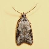 2315 - Currant Fruitworm Moth - Carposina fernaldana