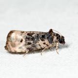 2860 - Pink-washed Leafroller - Metendothenia separatana