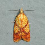 3697 - Sparganothis lycopodiana