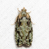 3235 - Gray-flanked Proteoteras - Proteoteras moffatiana