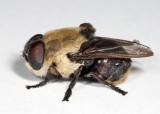 Squirrel Bot Fly - Cuterebra emasculator