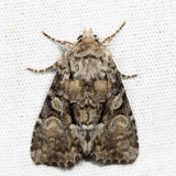 9398 - Eremobina leucoscelis