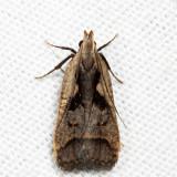 2291 - Bilobed Dichomeris - Dichomeris bilobella
