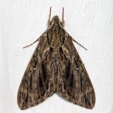 7796 - Hermit Sphinx - Lintneria eremitus