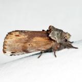 8010 – Red-humped Caterpillar Moth – Schizura concinna