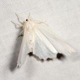 6798 - Elm Spanworm - Ennomos subsignaria