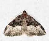 7399 – Sharp-angled Carpet Moth – Euphyia intermediata