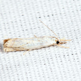5361 – Small White Grass-veneer – Crambus albellus