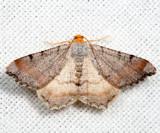 6339 - Blurry Chocolate Angle - Macaria transitaria
