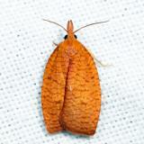 3722 - Chokecherry Leafroller - Cenopis directana?