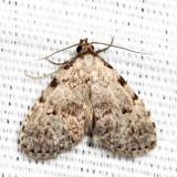 8427 - Spot-edged Dyspyralis - Dyspyralis puncticosta