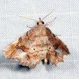 8490 - Decorated Owlet - Pangrapta decoralis