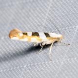 2457 – Bronze Alder Moth – Argyresthia goedartella