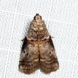 5691 – Sweetfern Leaf Casebearer Moth – Acrobasis comptoniella