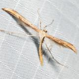 6234 – Morning-glory Plume Moth – Emmelina monodactyla