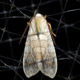Halysidota tessellaris/harisii