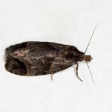 3822 - Phtheochroa riscana