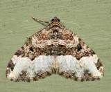 7399 - Sharp-angled Carpet  Euphyia intermediata