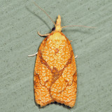 3720 – Reticulated Fruitworm Moth – Cenopis reticulatana