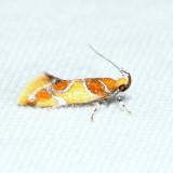 1046 – Orange-headed Epicallima – Epicallima argenticinctella