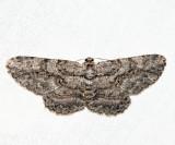 6590 – Common Gray – Anavitrinella pampinaria